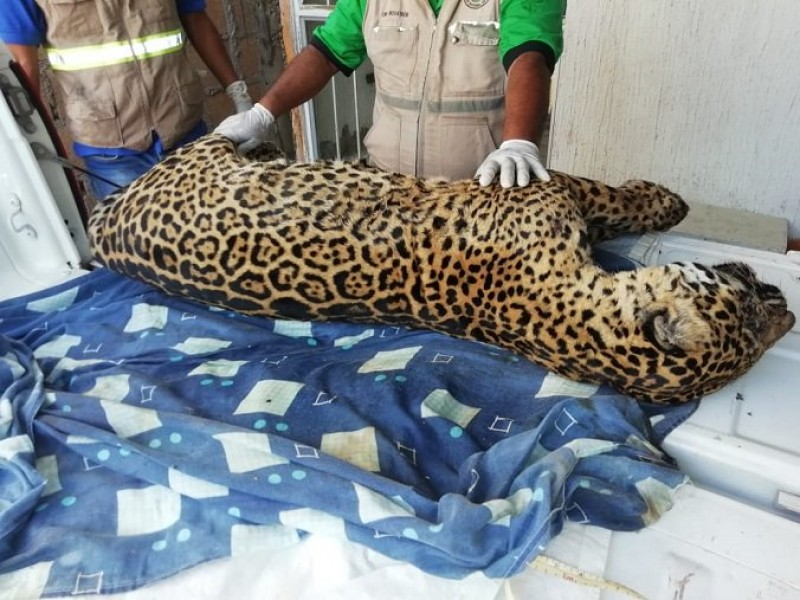 Profepa aseguró a jaguar cazado en Jesús Carranza