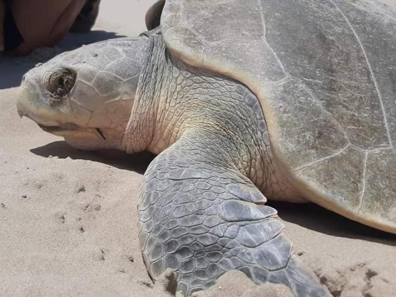 Programan actividades en pro de las tortugas marinas