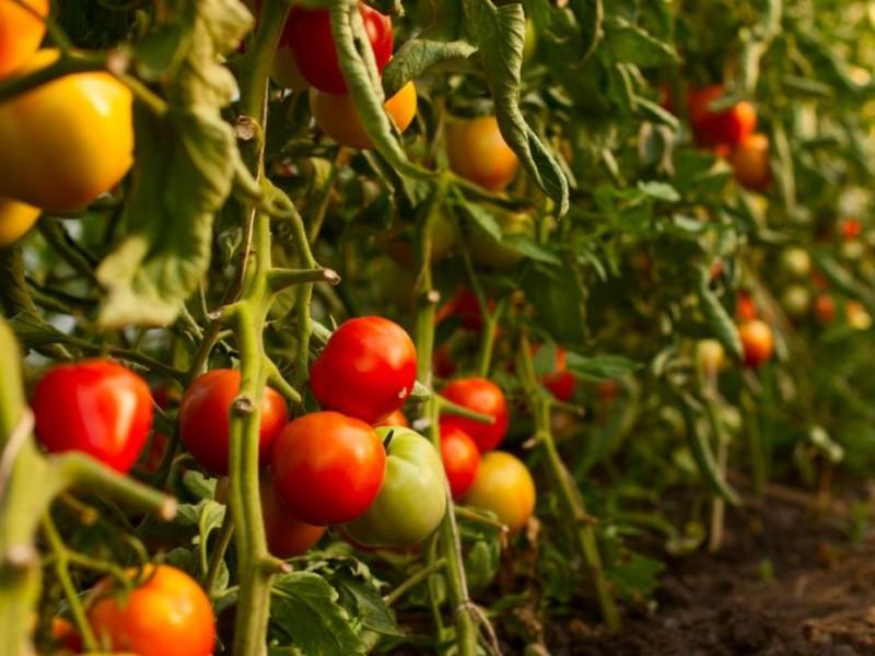Prohibición del glifosato pone en riesgo la producción de alimentos