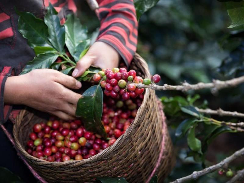 Promueven en Chiapas Primer Festival Internacional del Café