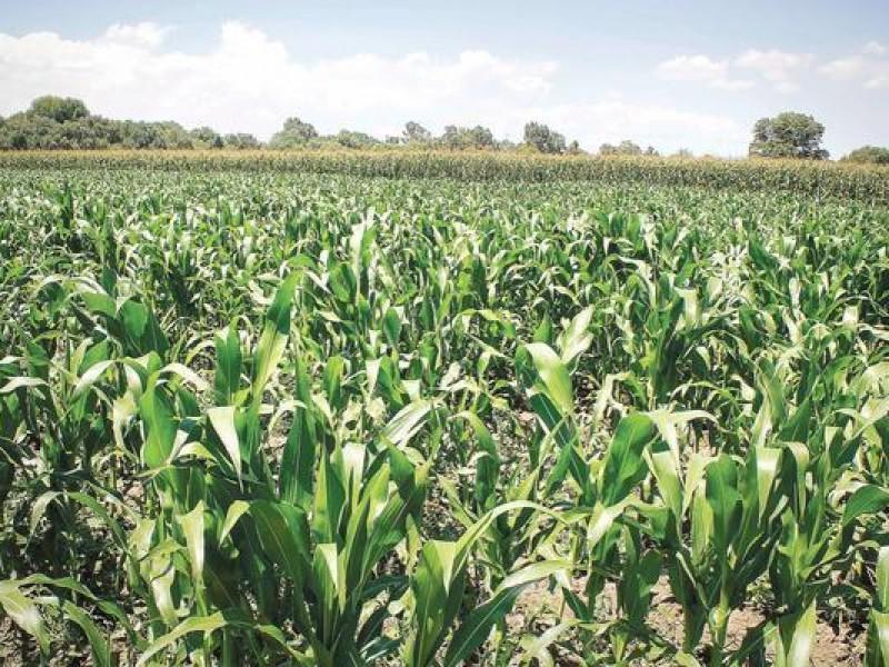 Querétaro es deficiente en producción de maíz