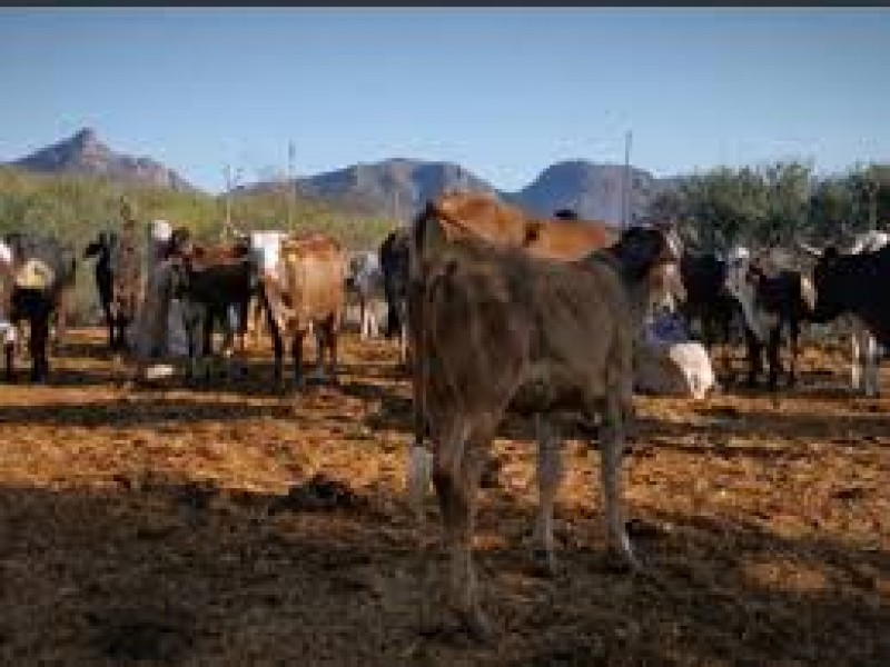 Reactivan comercialización de ganado en Sinaloa