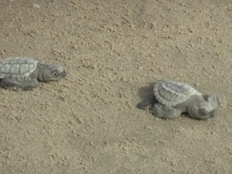 Realizan liberación de tortugas en playas de Tuxpan
