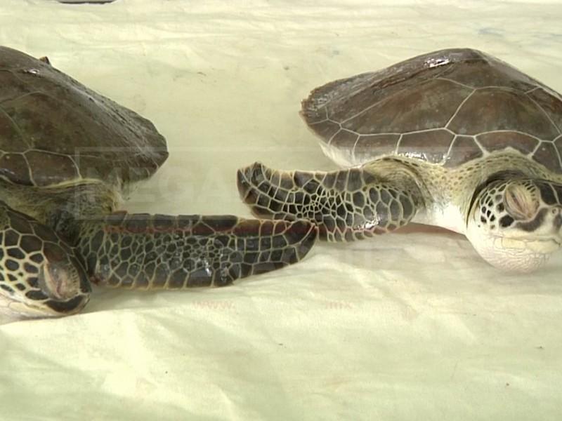 Realizarán necropsia a tortugas muertas en Alvarado