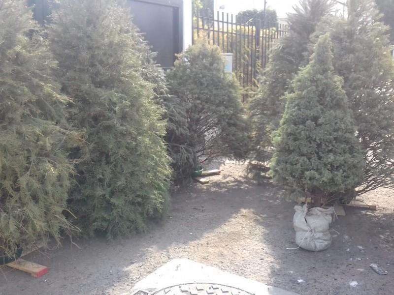 Recolecta Corregidora 820 árboles para composta