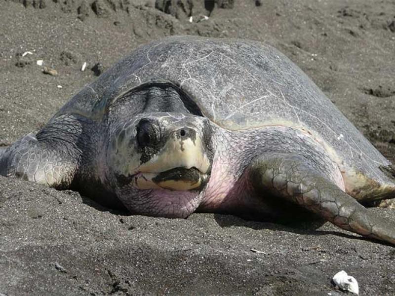 Refuerzan trabajos de protección de la tortuga golfina ante anidación