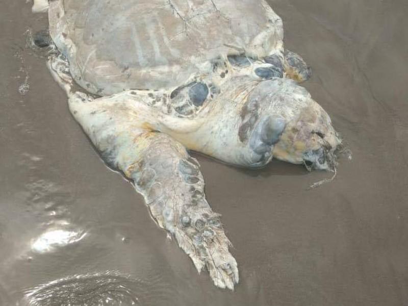 Registraron 20 tortugas muertas en 2019