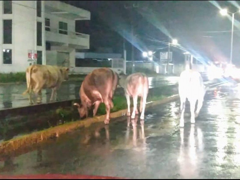 Reinciden reportes de vagancia de ganado