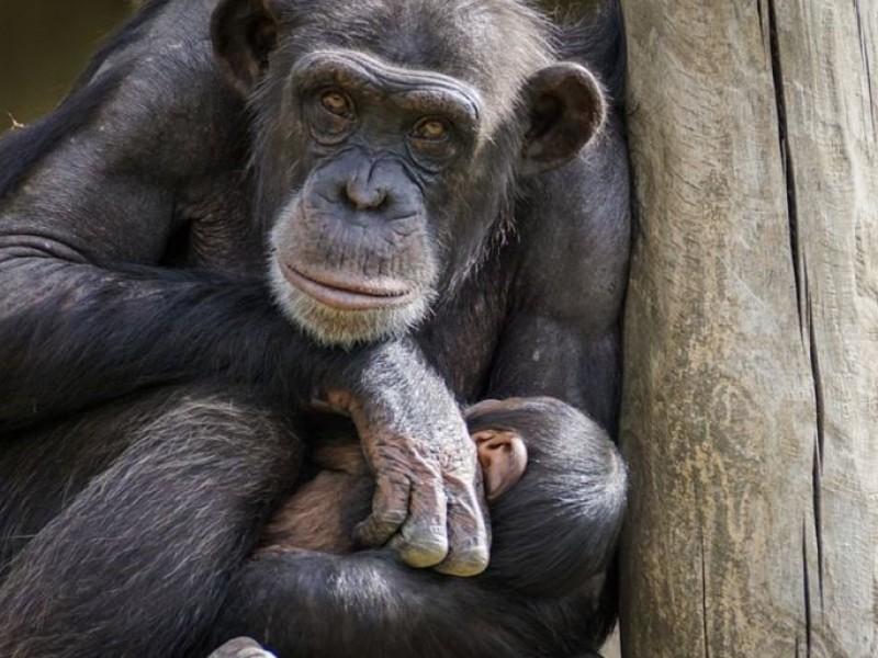 Relacionan nueva bacteria con enfermedad que ha matado a chimpancés