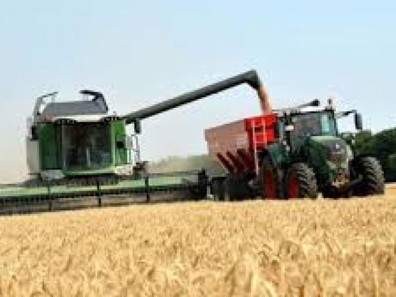 Rendimientos de trigo en el Valle del Yaqui no es el esperado