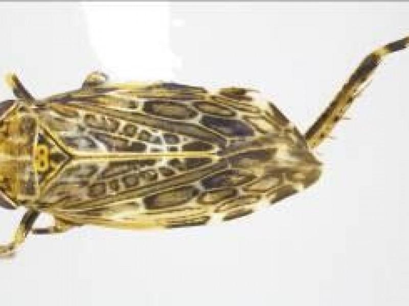 Reporta CBP hallazgo de insecto Invasivo