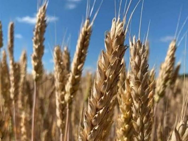 Reportan productores disminución de rendimiento del trigo en la región