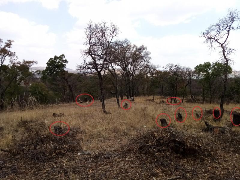 Reportan tala clandestina de árboles en Bosques de Chapultepec