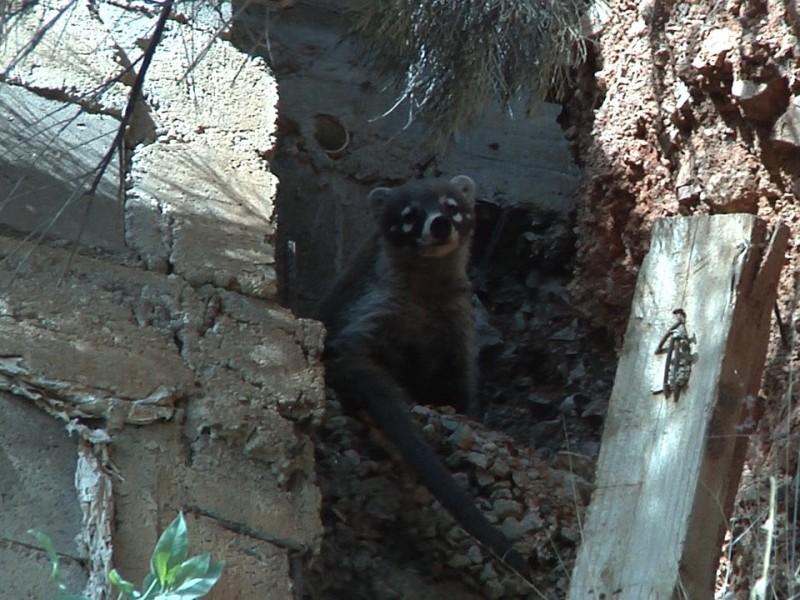 Reportan un coati en patio de vivienda
