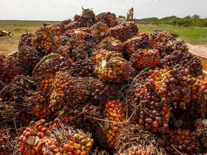 Repunta en producción de palma de aceite en Chiapas