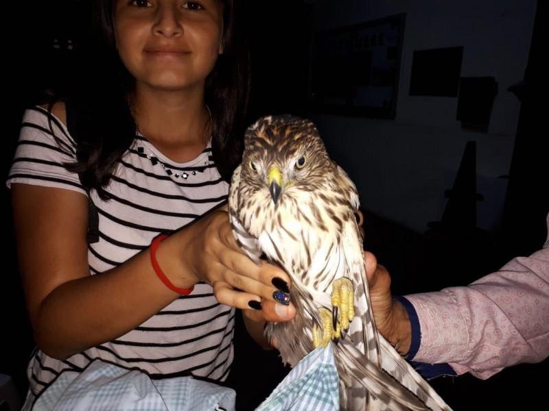 Rescatan a águila lastimada