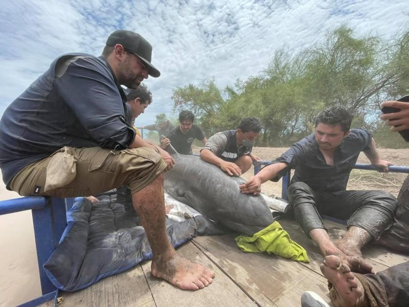 Rescatan a delfín atrapado en canal agrícola de Sinaloa