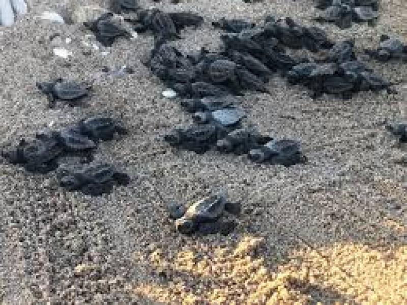 Visitantes a playas causan impacto y dañan eclosiones