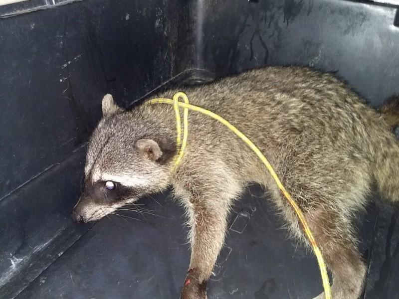 Rescatan a mapache tras incendio de pastizal