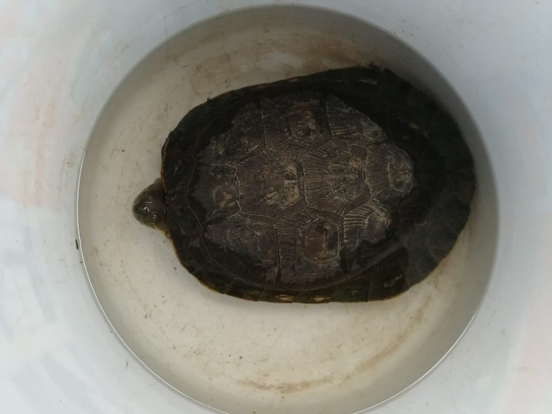 Rescatan a siete tortugas de ser atropelladas
