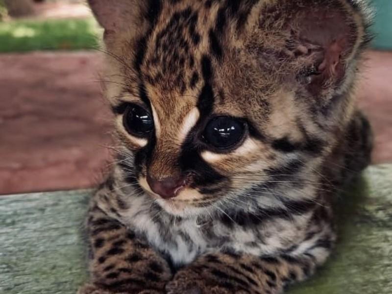 Rescatan en Chiapas a cría de Tigrillo