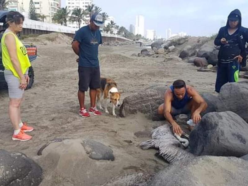 Rescatan pelícano en playa de Boca del Río