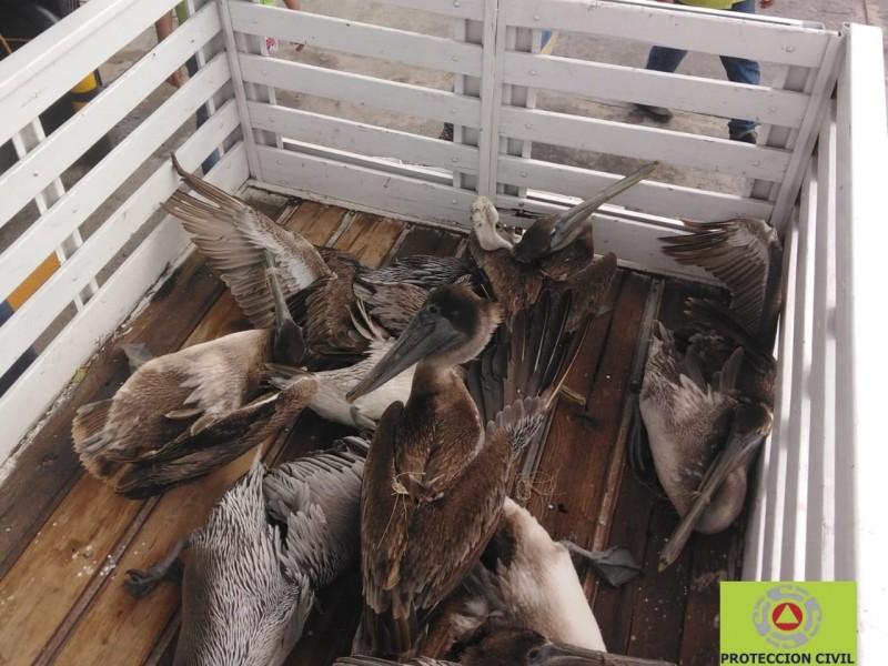 Rescatan pelícanos en Antón Lizardo