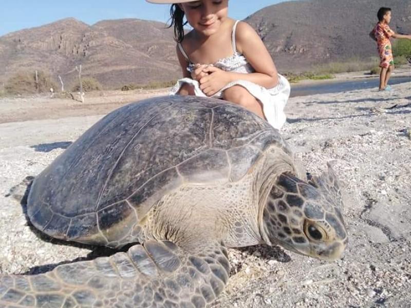 Rescatan y liberan tortuga marina en Bahía de Ohuira
