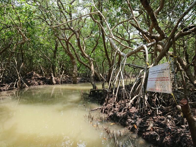 Restauran 100 hectáreas de manglares en Tuxpan
