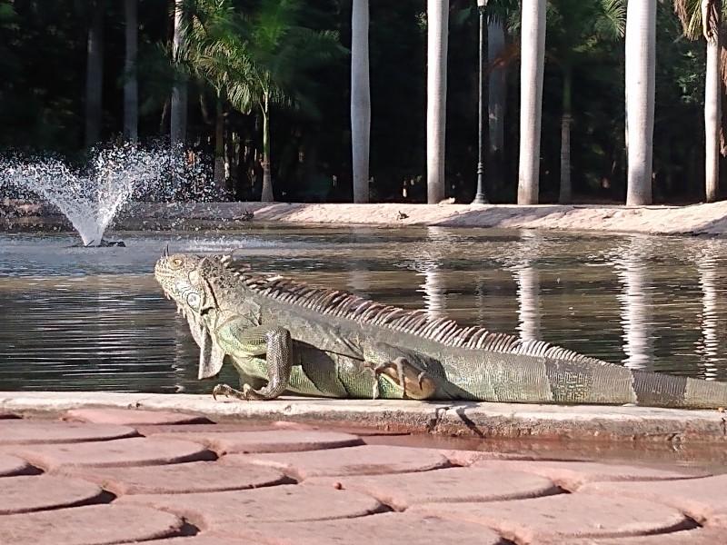 Reubicarán el 80 % de iguanas y tortugas