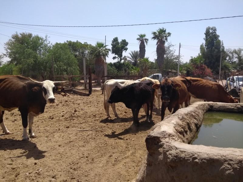 Rompe récord exportación de ganado sonorense