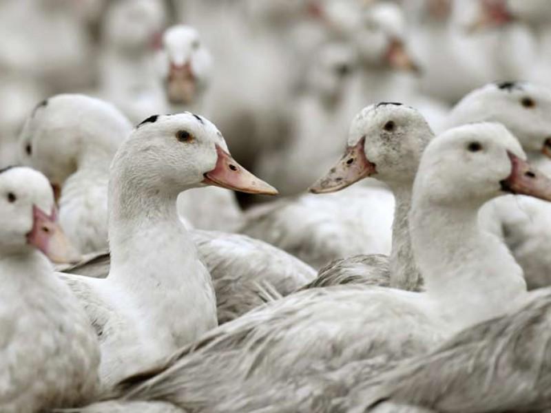 Sacrifican a miles de aves por brotes de gripe aviar