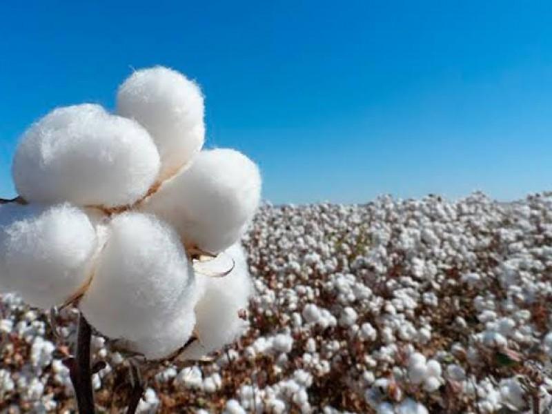 Salinismo y transgénicos perjudicaron producción de algodón en La Laguna