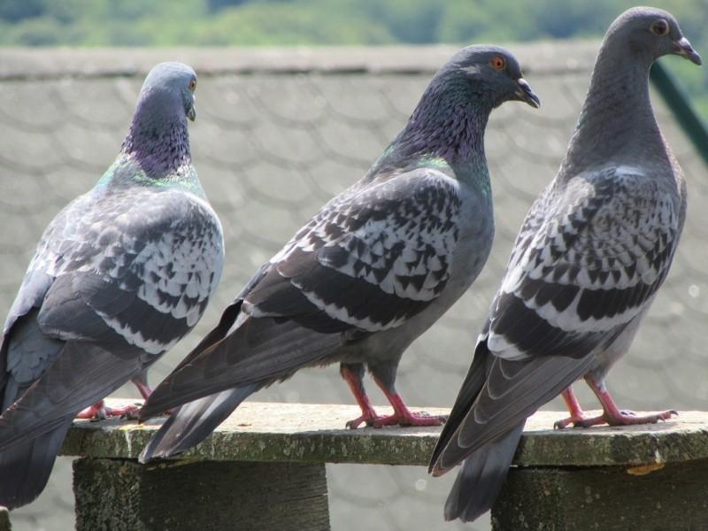 Salud de Laguneros en peligro por plaga aviar