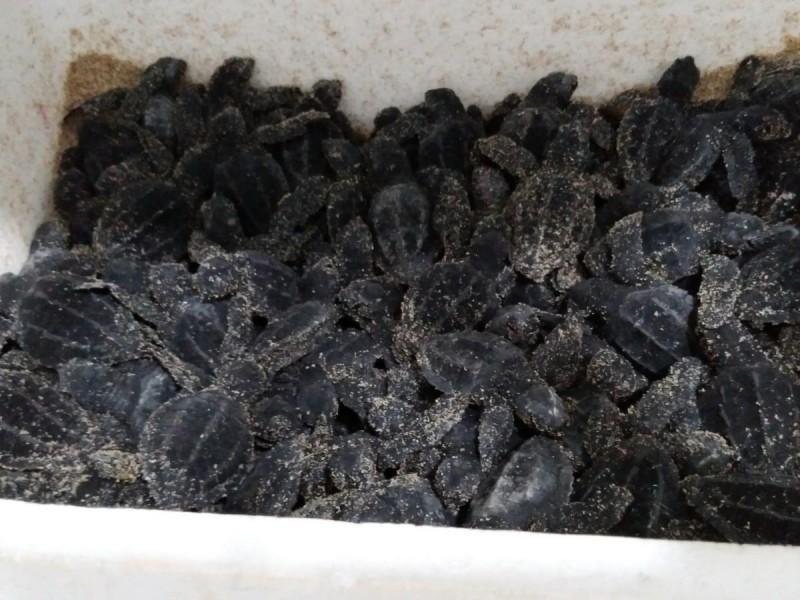 San Carlos, santuario de tortugas marinas en centro de incubación
