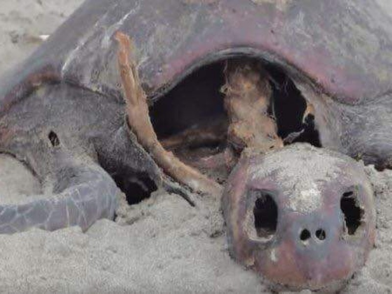 Se atiende muerte de tortugas en Chiapas