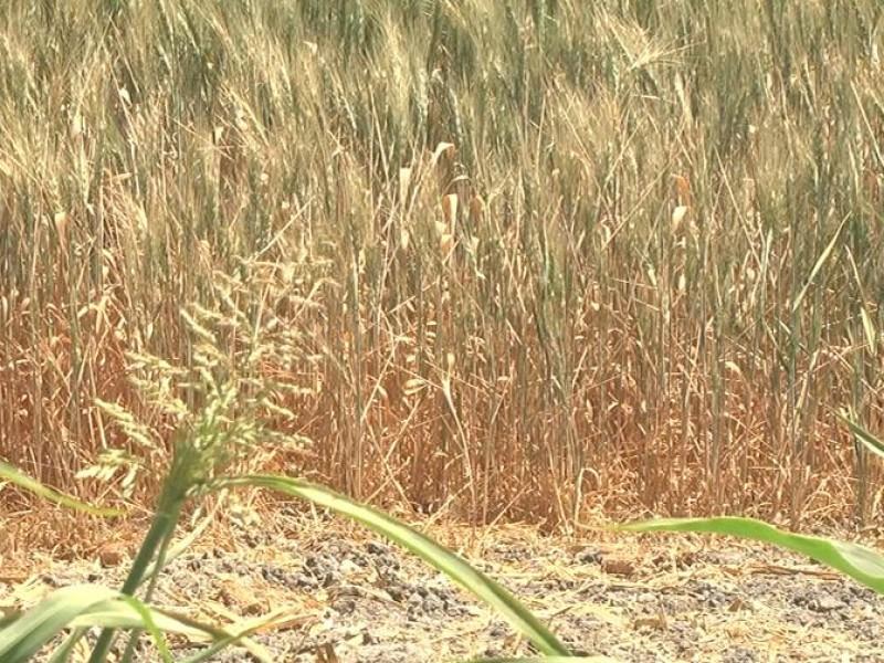 Se deslinda gobierno ante daños agrícolas por cortes de agua