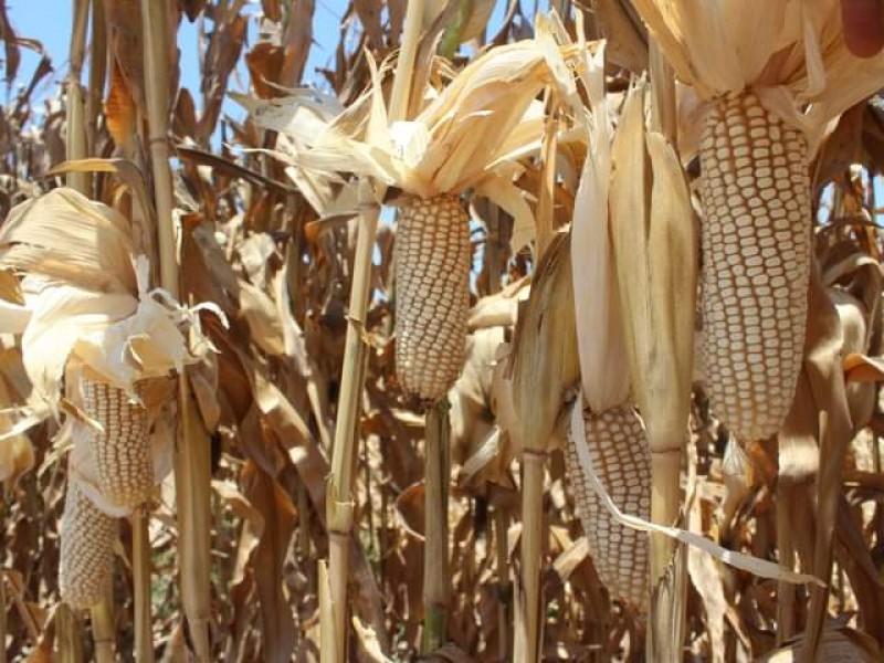 Se desploma el maíz, pierde 17.5 dólares