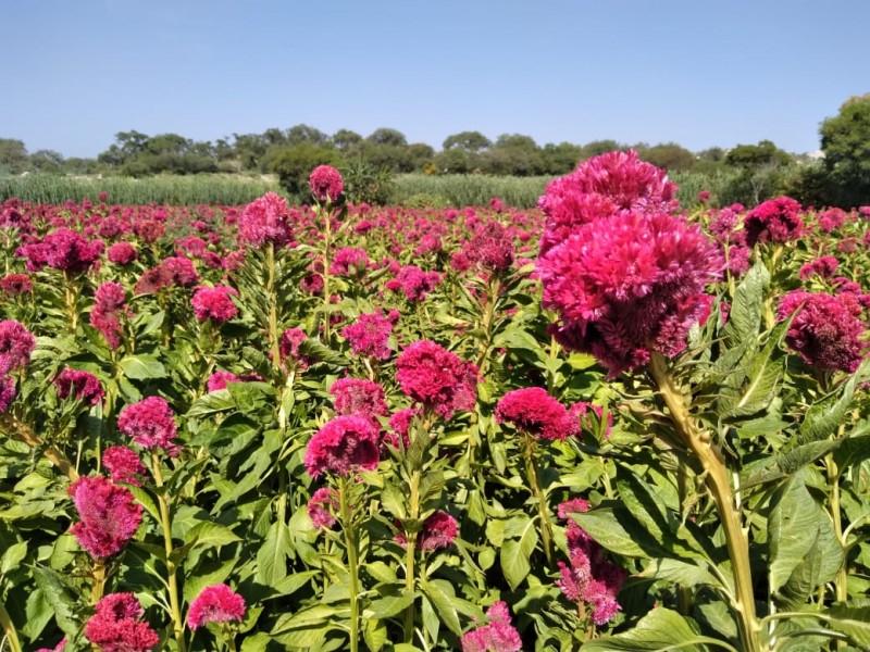 Se encarece flor de muerto por afectación en cultivos
