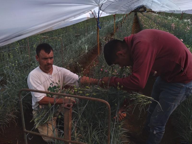 Se preparan floricultores para el dia de muertos