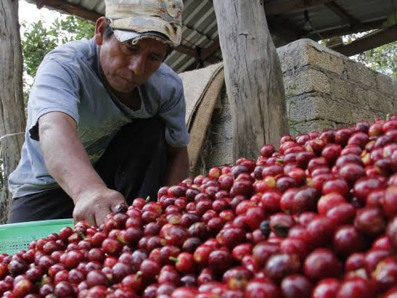 Se pronostica buena producción de café en Nayarit