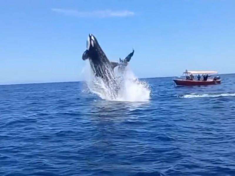 Se viraliza orca que al saltar golpea a un delfín