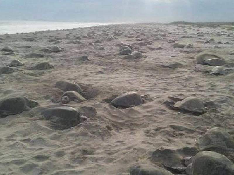 Semar vigilara costas para garantizar desove de tortuga