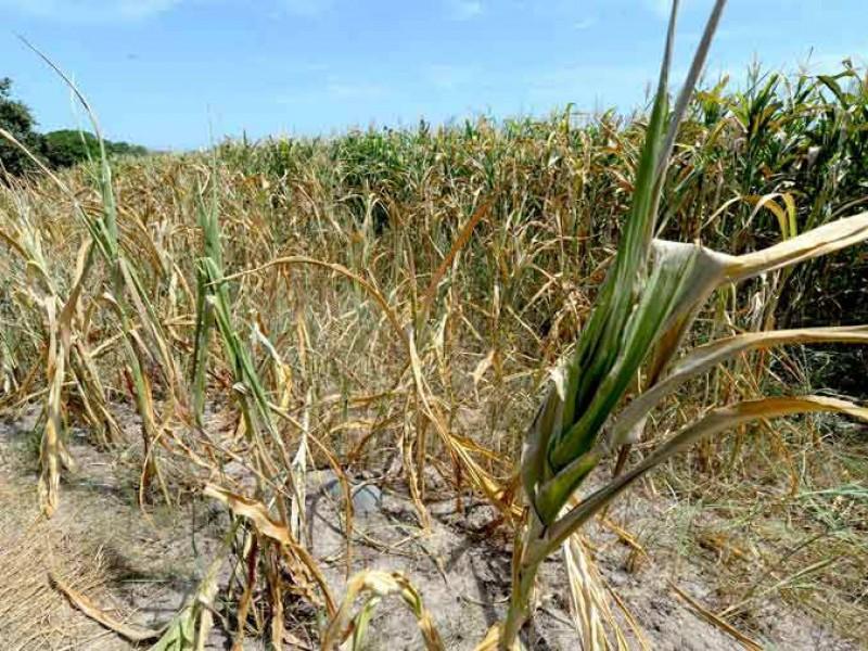 Sequía acaba con 50 hectáreas de maíz