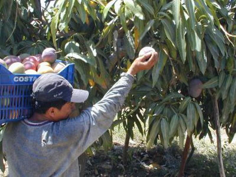 Sequía adelanta cosecha de mango en zona norte de Sinaloa
