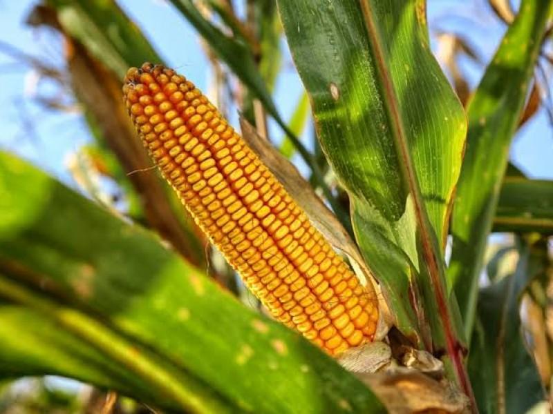 Sequía afecta a productores de Maíz