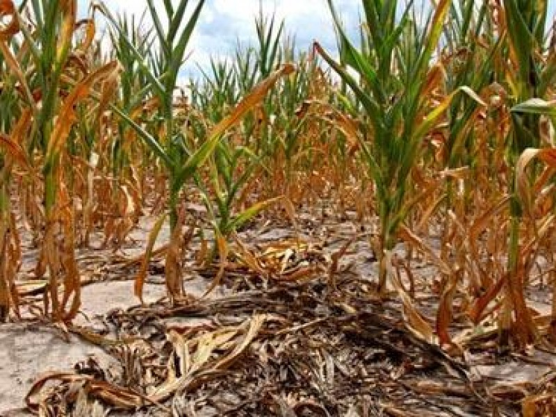 Sequía afecta cultivos