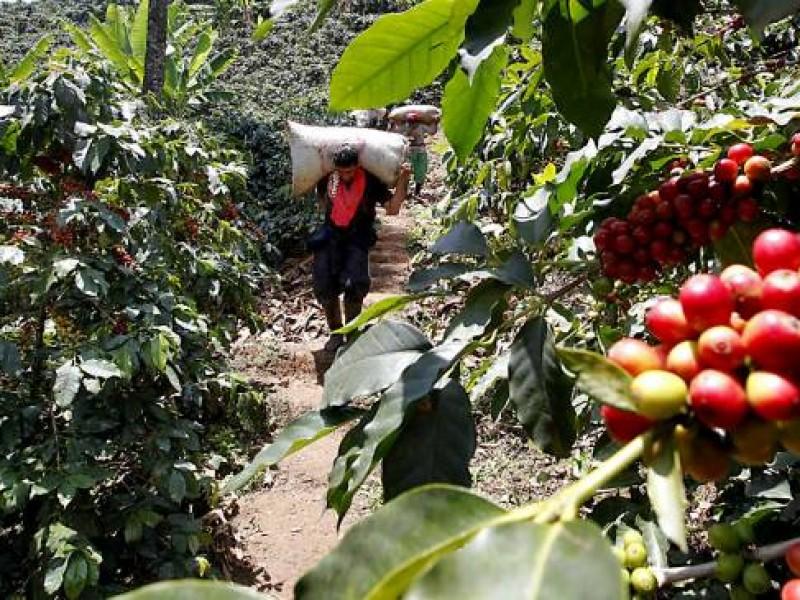 Sequía afecta producción de café