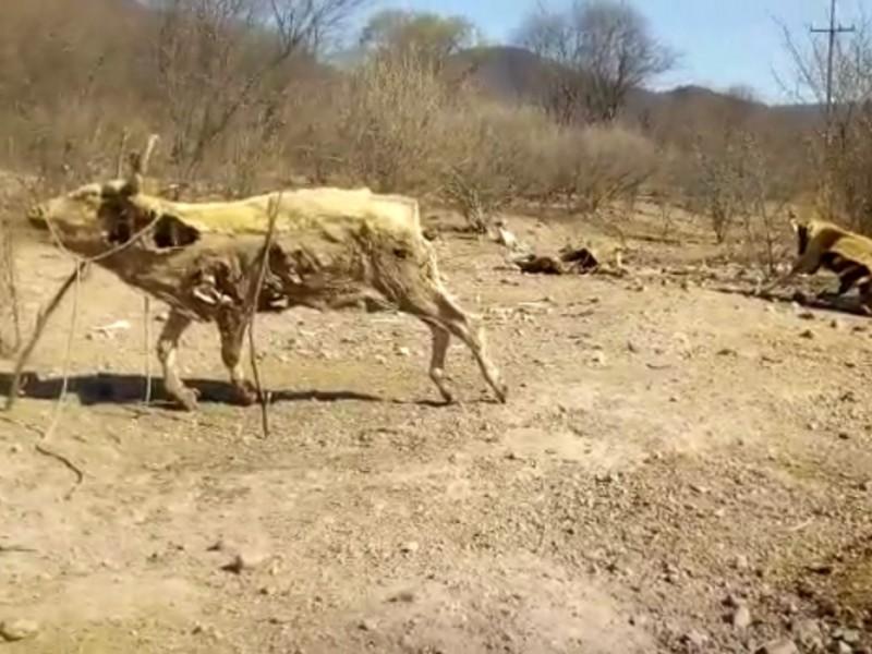 Sequía aumenta mortandad de ganado en la Región del Mayo