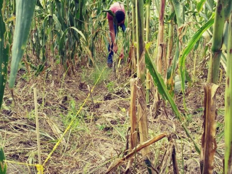 Sequía podría afectar a 37 mil productores agrícolas